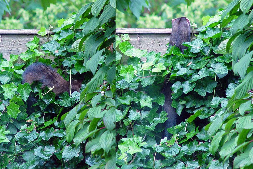 An actual polecat in a suburban garden